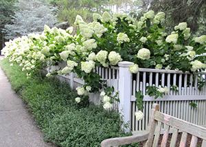 Joan_harrison-limelight Cape Cod Hydrangea Society